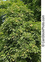 Chestnut tree in summertime