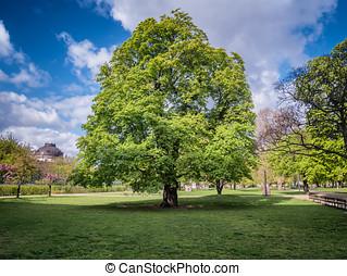 Chestnut tree in the center of Berlin