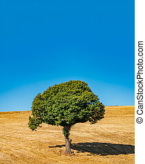 Chestnut tree isolated in the wheat field