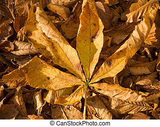 The palmate compound leaf of a chestnut tree