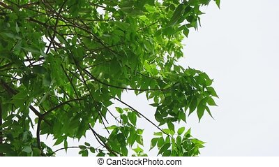 Chestnut tree leaves canopy tilt shot against clear sky in...