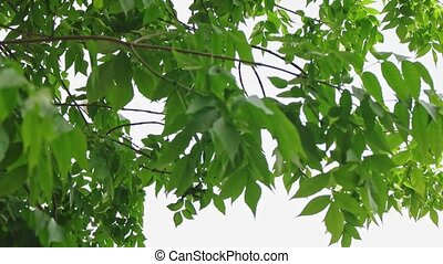 Chestnut tree leaves canopy tilt shot in slow motion