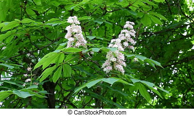 Chestnut Tree - Spring leaves and blossoms of Chestnut Tree...