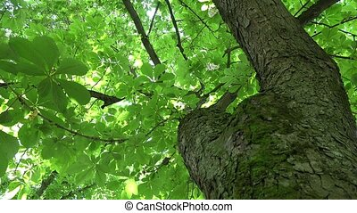 chestnut tree trunk and sunlight penetrate through leaves....