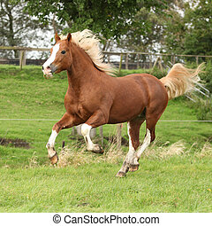 Chestnut welsh pony with blond hair running on pasturage -...