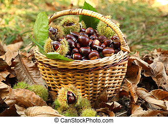 Chestnuts in basket - Chestnut harvest in wicker basket