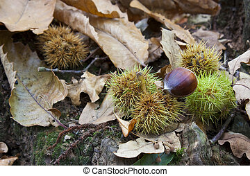 chestnuts in forest