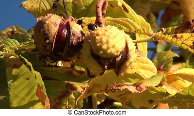 chestnuts on a tree