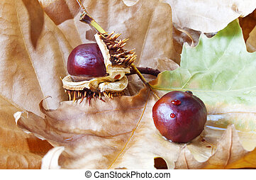 Chestnuts on dry leaves