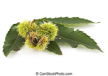 Chestnut leaf with young chestnuts on white.