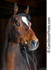 cheval, étalon, -, fond foncé, éleveur