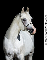 cheval arabe, isolé, sur, noir