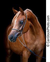 cheval, arabe, noir, isolé