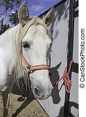 cheval, attaché