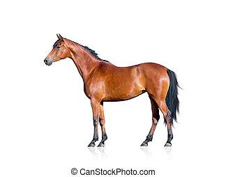 cheval baie, isolé, blanc