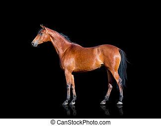 cheval baie, isolé, sur, noir
