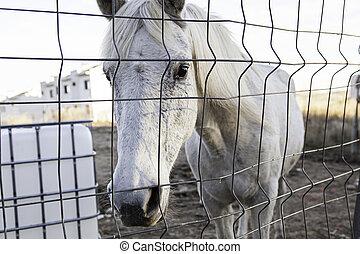 cheval blanc, écurie
