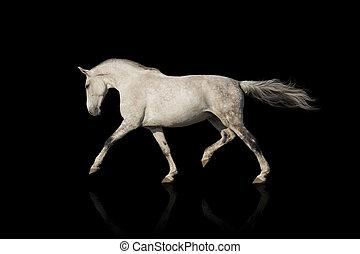 cheval blanc, trot