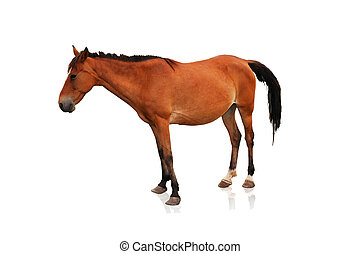 cheval brun, blanc, isolé, fond