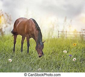 cheval brun, champ
