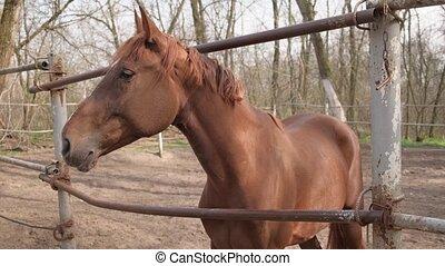 cheval brun, corral, farm.