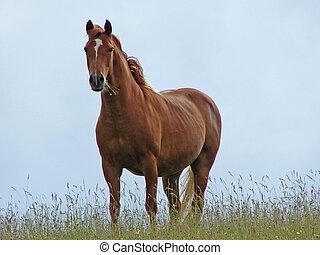 cheval, brun
