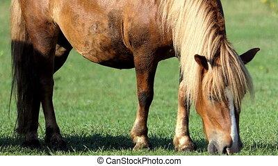 cheval brun, lent, manger, lumière, pelouse, mouvement, herbe