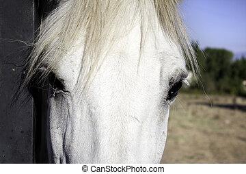 cheval, devant