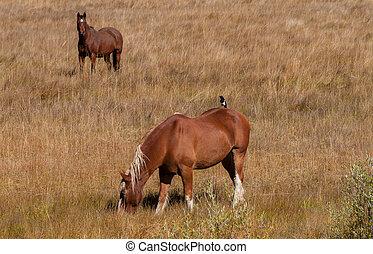 cheval, dos, pie