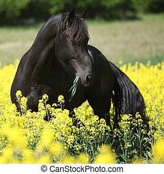 cheval, friesian, colza, champ, noir, magnifique