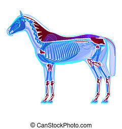 cheval, joints, -, ligaments, /, isolé, anatomie, tendons, ...