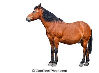cheval, longueur pleine, isolé, blanc, arrière-plan., ferme, animals., brun, cheval baie, isolé, blanc, arrière-plan., beau, cheval, devant, fond blanc