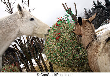 cheval, manger, wi, foin, pendant, chèvre
