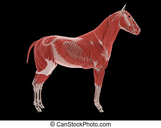cheval, muscle, système