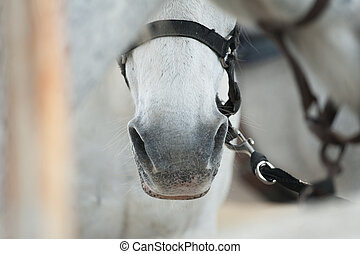 cheval, nez, closeup