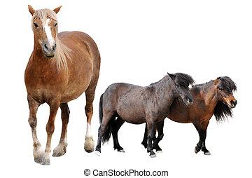 cheval, poneys