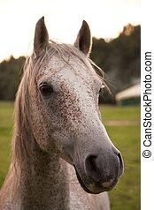 cheval, tête