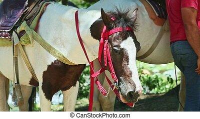 cheval, tacheté, closeup, sellé, blanc, reposer, portrait, ...
