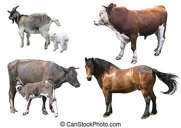 cheval, taureau, chèvre, vache, veau