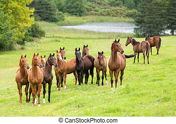 cheval, troupeau