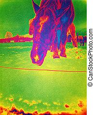 chevaux, ajouté, effects., coucher soleil, pâturage, pâturage