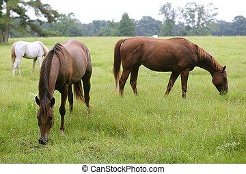 chevaux, alimentation, herbe, dans, a, texas, pré vert, nature