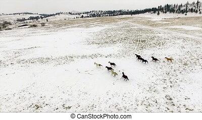 chevaux, animaux, équestre, troupeau, courant, étalons, sauvage