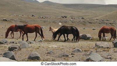chevaux, autour de, accidenté, marche, paysage
