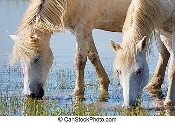 chevaux, boire