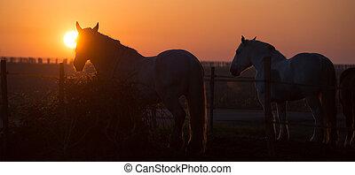 chevaux, champ, coucher soleil