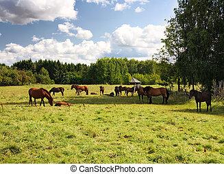 chevaux, champ, troupeau