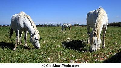 chevaux, dans, camargue, france