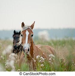 chevaux, dans, champ