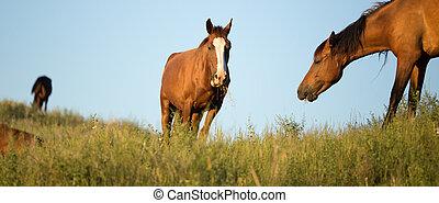 chevaux, dans, les, pâturage, à, coucher soleil